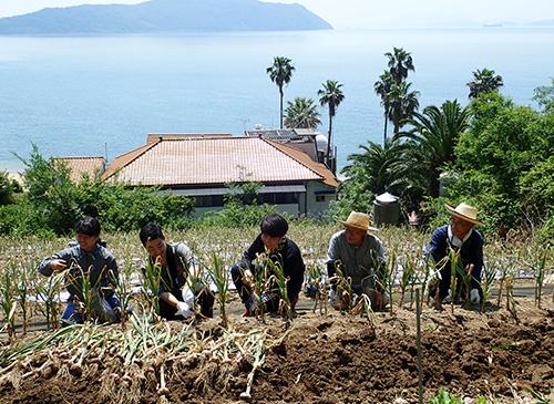 真鍋島にんにく収穫活動